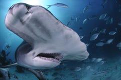 Feche acima da cara disparada da grande natação do tubarão de Hammerhead em águas claras do Bahamas foto de stock royalty free