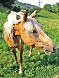 Feche acima da cara e da cabeça do cavalo Imagens de Stock