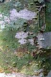 Feche acima da casca da árvore com musgo Imagem de Stock Royalty Free