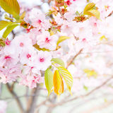 Feche acima da cereja cor-de-rosa flor-sakura Imagem de Stock