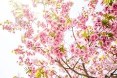 Feche acima da cereja cor-de-rosa flor-sakura Fotografia de Stock Royalty Free