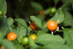 Feche acima da cereja de Jerusalém, igualmente sabido é cereja de inverno fotografia de stock