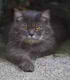 Feche acima da face do gato de persia foto de stock