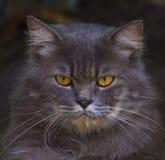 Feche acima da face do gato de persia imagem de stock royalty free