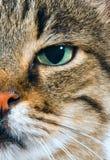 Feche acima da face dos gatos Foto de Stock Royalty Free