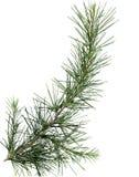 Feche acima da filial de árvore do pinho Foto de Stock Royalty Free