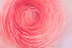 Feche acima da flor alaranjada do ranúnculo imagens de stock royalty free