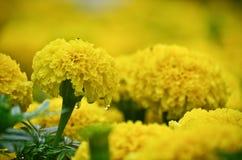 Feche acima da flor amarela Fotografia de Stock