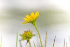 Feche acima da flor amarela Fotos de Stock
