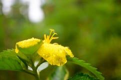Feche acima da flor amarela com gotas da água Foto de Stock Royalty Free