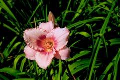 Feche acima da flor bonita com as pétalas cor-de-rosa delicadas e núcleo amarelo fotografia de stock