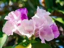 Feche acima da flor bonita da prímula de ganges com folhas verdes Gangetica do asystasia do foco seletivo no fundo da folha imagens de stock