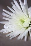 Feche acima da flor branca fotografia de stock