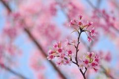 Feche acima da flor cor-de-rosa: áster com pétalas cor-de-rosa e coração amarelo para o fundo ou a textura fotografia de stock