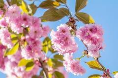 Feche acima da flor cor-de-rosa Cherry Tree Branch, Sakura, durante Spri Fotografia de Stock
