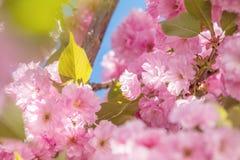 Feche acima da flor cor-de-rosa Cherry Tree Branch, Sakura, durante Spri Fotografia de Stock Royalty Free