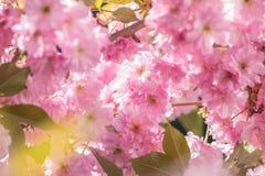 Feche acima da flor cor-de-rosa Cherry Tree Branch, Sakura, durante Spri Imagens de Stock