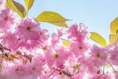 Feche acima da flor cor-de-rosa Cherry Tree Branch, Sakura, durante Spri Fotos de Stock Royalty Free