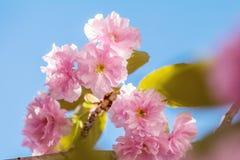 Feche acima da flor cor-de-rosa Cherry Tree Branch, Sakura, durante Spri Imagens de Stock Royalty Free