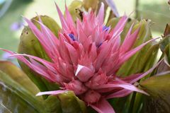 Feche acima da flor cor-de-rosa com azul pequeno  Fotos de Stock