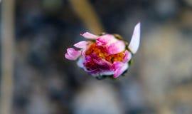Feche acima da flor cor-de-rosa com fundo borrado Foto de Stock