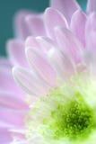 Feche acima da flor cor-de-rosa da margarida fotografia de stock