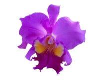Feche acima da flor cor-de-rosa da orquídea Fotos de Stock Royalty Free