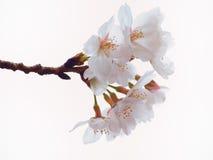 Feche acima da flor da árvore de cereja de Yoshino na flor completa Foto de Stock
