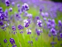 Feche acima da flor da alfazema Imagens de Stock Royalty Free