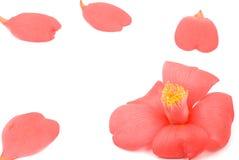 Feche acima da flor da camélia Imagens de Stock Royalty Free