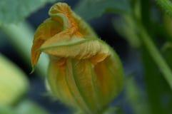 Feche acima da flor da polpa amarela Foto de Stock