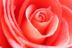 Feche acima da flor da rosa do vermelho fotografia de stock royalty free