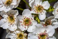 Feche acima da flor de cerejeira branca de florescência no ramo, fundo com flores de cerejeira Fotografia de Stock