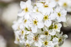 Feche acima da flor de cerejeira branca de florescência no ramo, fundo com flores de cerejeira Imagens de Stock Royalty Free