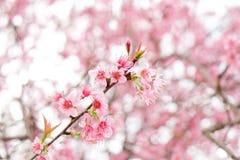 Feche acima da flor de cerejeira cor-de-rosa bonita no inverno, sakura tailandês no MAI de Chaing imagens de stock