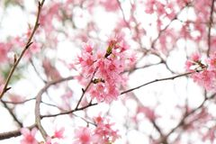 Feche acima da flor de cerejeira cor-de-rosa bonita no inverno, sakura tailandês no MAI de Chaing imagem de stock royalty free