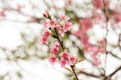 Feche acima da flor de cerejeira cor-de-rosa bonita no inverno, sakura tailandês no MAI de Chaing foto de stock royalty free