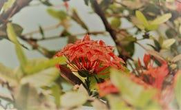Feche acima da flor de florescência da cereja da cor vermelha imagem de stock