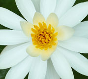 Feche acima da flor de lótus brancos Imagem de Stock