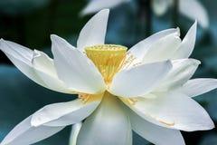 Feche acima da flor de lótus brancos com estame amarelo imagem de stock