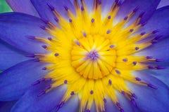 Feche acima da flor de Lotus Amarelo-roxa do pólen fotografia de stock