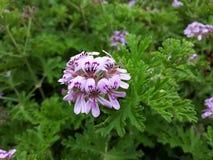 Feche acima da flor de Rose Geranium Pelargonium Graveolens fotografia de stock royalty free