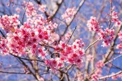 Feche acima da flor de sakura com fundo bonito da natureza Fotografia de Stock Royalty Free