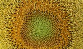 Feche acima da flor de Sun Foto de Stock