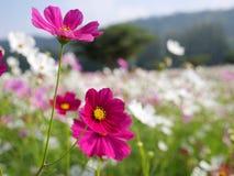 Feche acima da flor do cosmos Fotografia de Stock