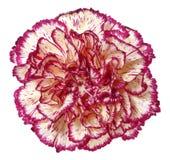 Feche acima da flor do cravo imagem de stock