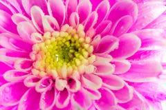 Feche acima da flor do crisântemo, profundidade de campo rasa fotografia de stock royalty free
