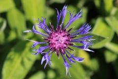 Feche acima da flor do fruto de paixão no verão fotografia de stock