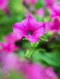 Petúnia cor-de-rosa de Surfinia Imagem de Stock
