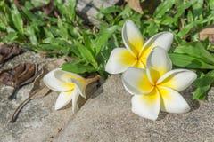 Feche acima da flor do Plumeria foto de stock